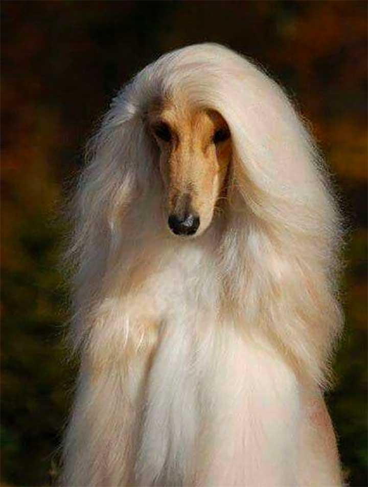 Blonde Afghan Hound