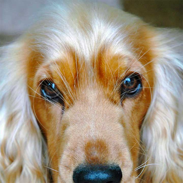 Dogs With Better Hairstyles: Cocker Spaniel