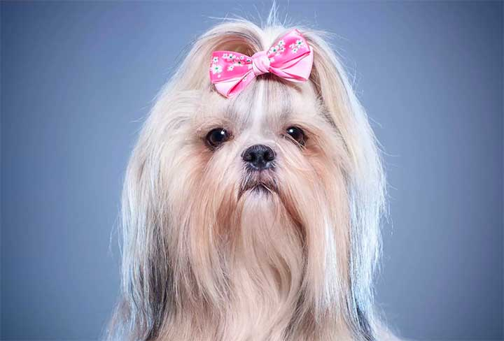 Dogs With Better Hairstyles: Shih Tzu