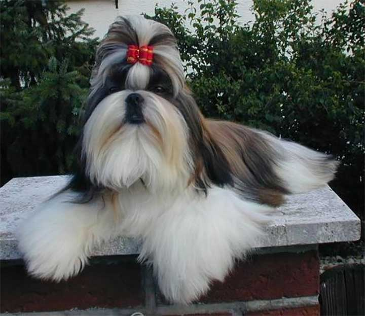 Teased Red Bow Dog