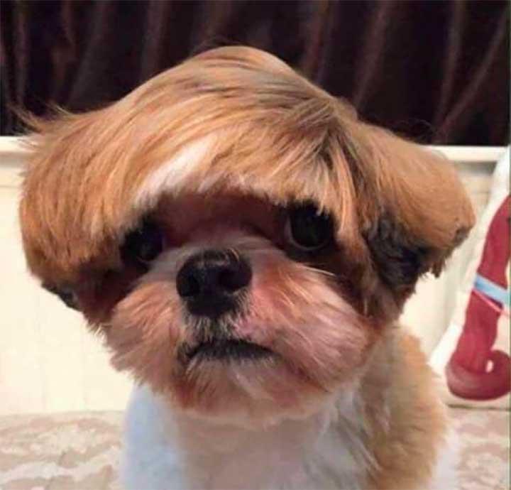 White Brown Dog Justin Bieber Haircut