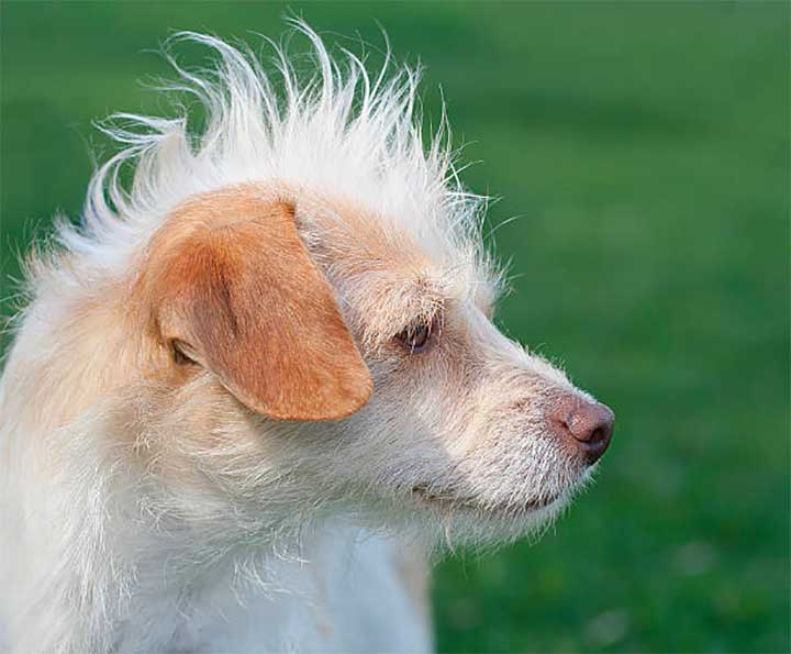 Yellow Mohawk Small Dog